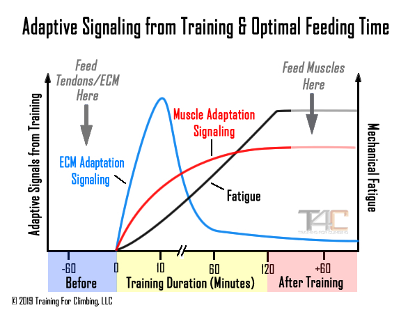 Graph of muscle and tendon adaptation to exercise.